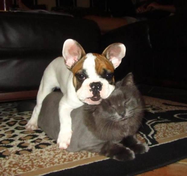 dog lying on cat