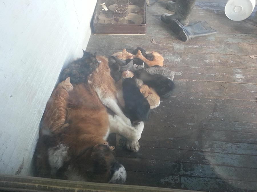 st bernard sleeps with cats
