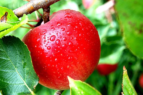 beetles taste like apples