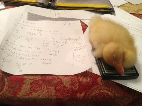 duck fell asleep on my calculator