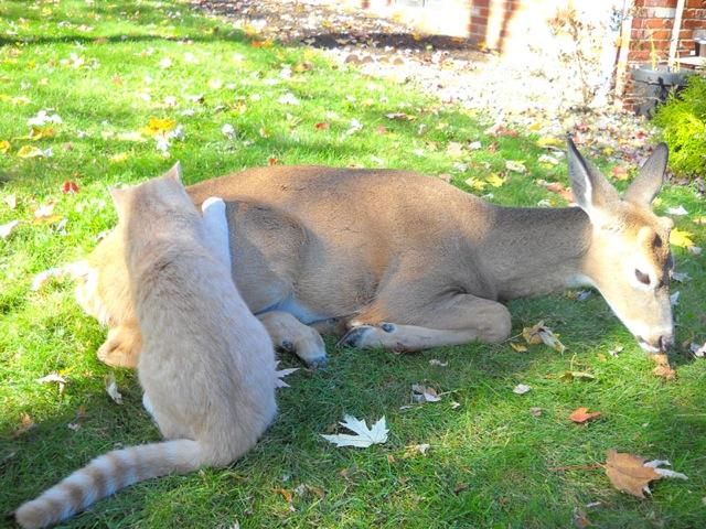deer visits cat