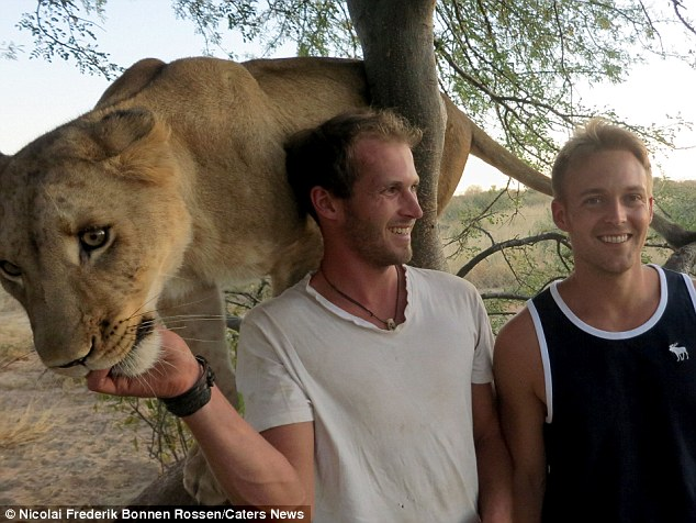 bond between lion and humans