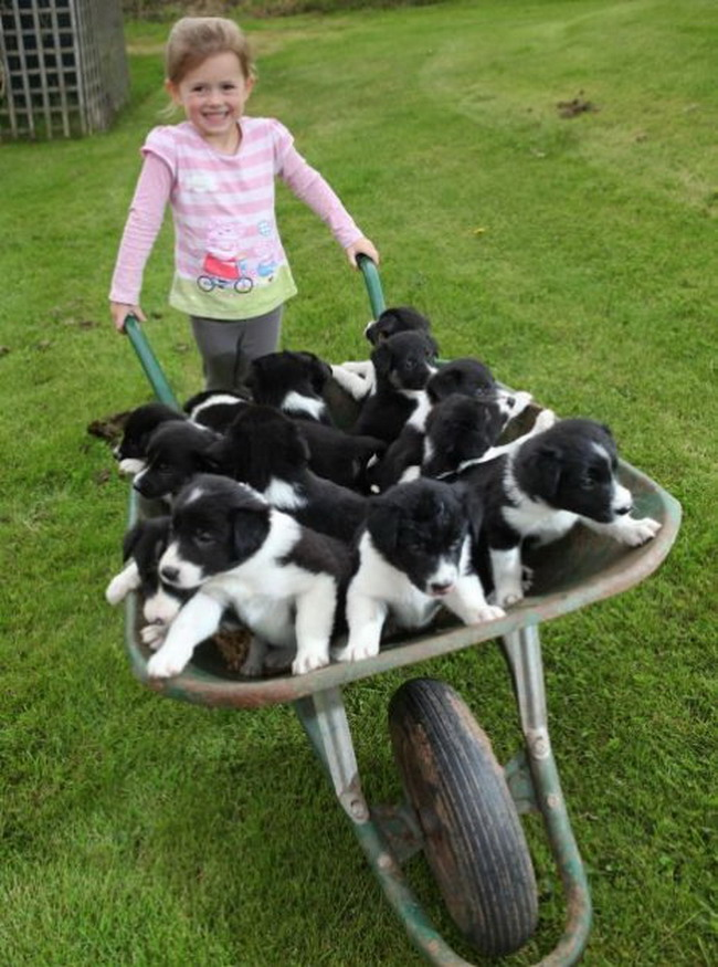 puppies in a wheelbarrow with girl
