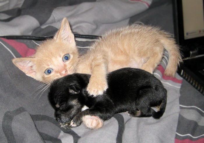 kitten hugging puppy