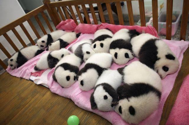 panda babies sleeping