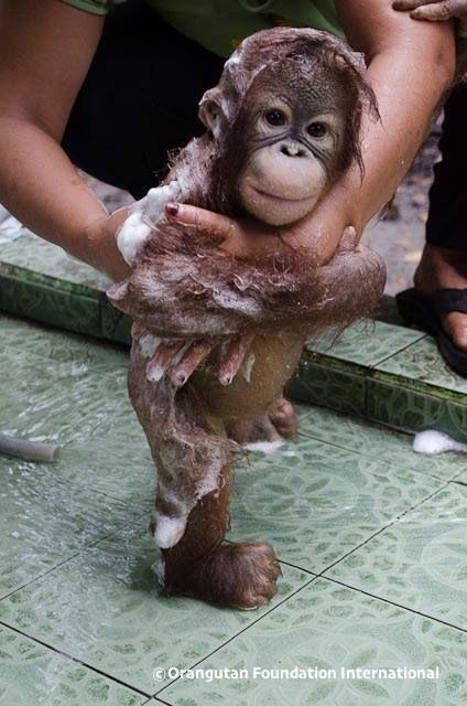 orangutan bath