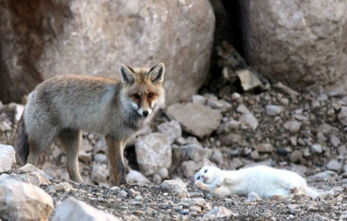 fox and cat in wild