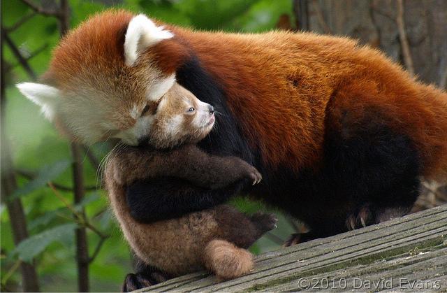 baby red panda hugging mom