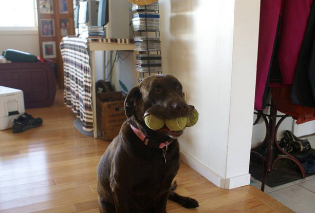 dog with balls in mouth