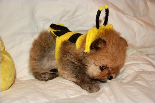 puppy in bee costume