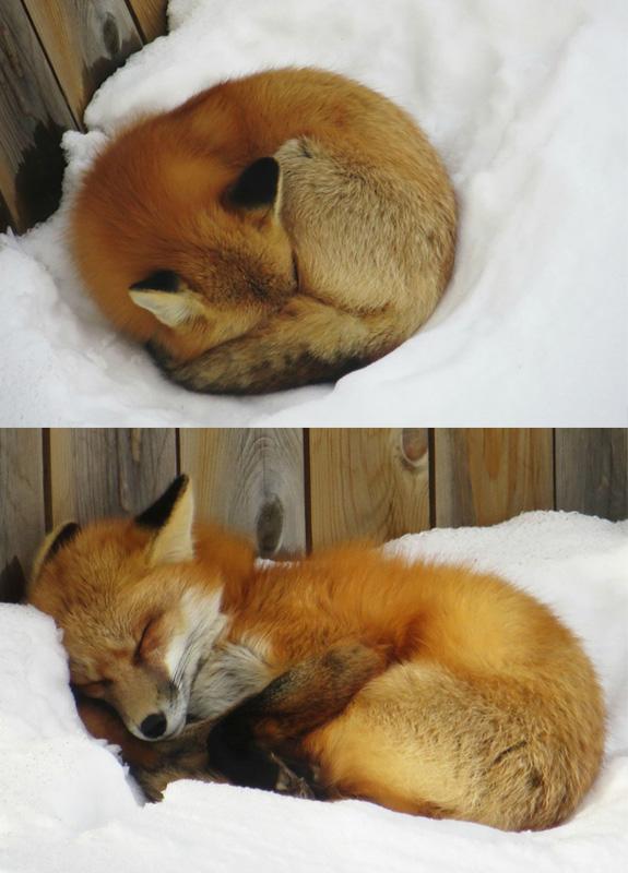 fox sleeping in snow