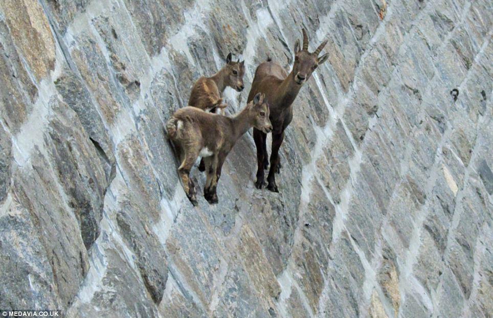 goats on dam