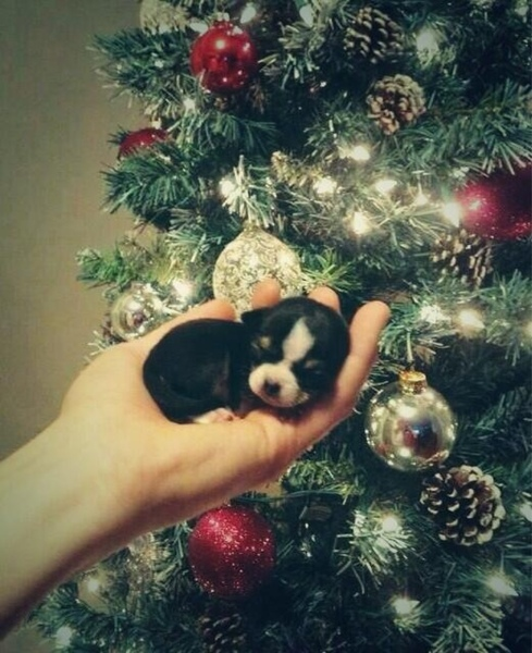 puppies first Christmas