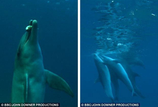 dolphins high on puffer fish