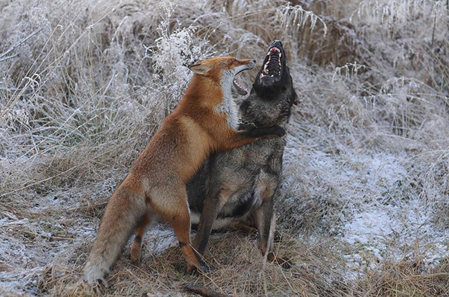 real life fox and the hound