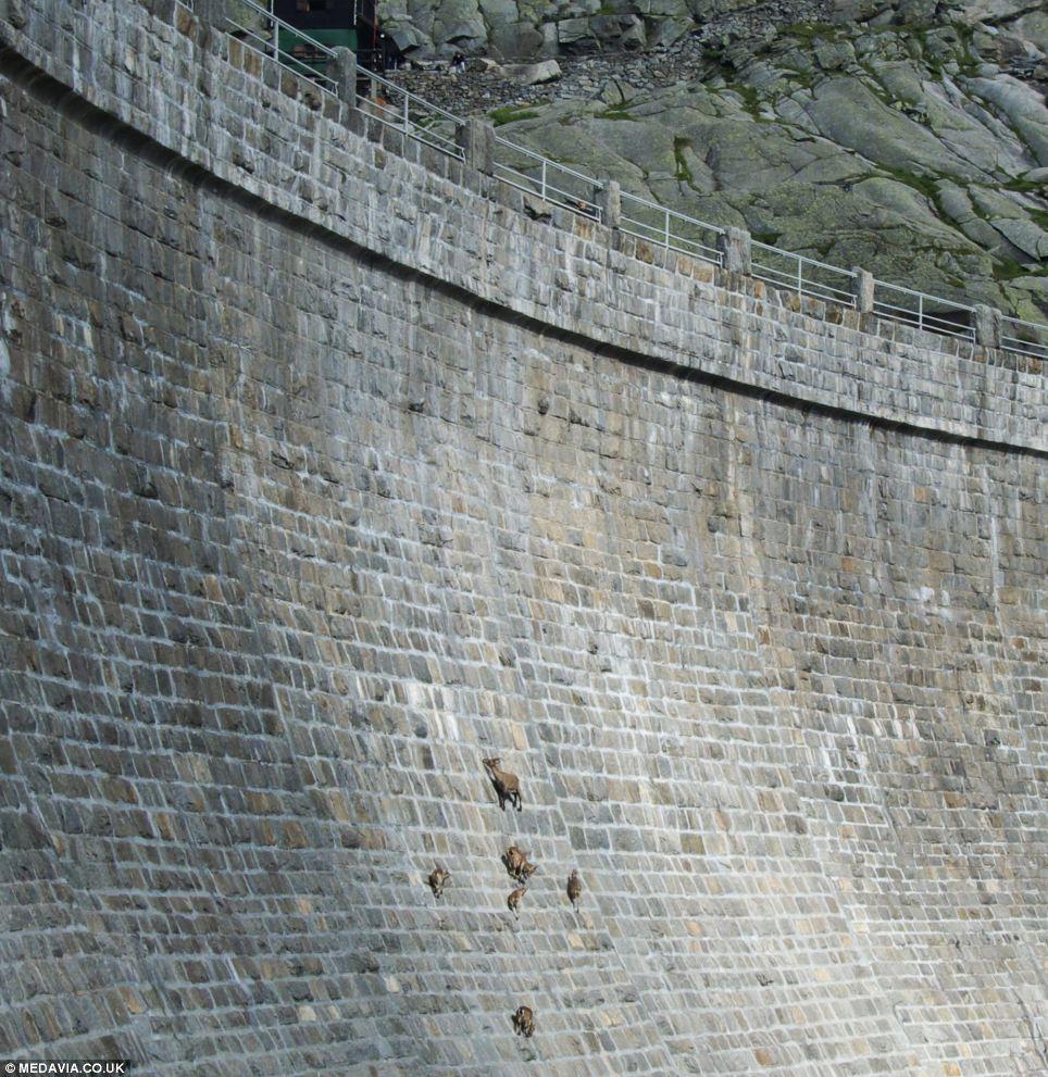 goats dam
