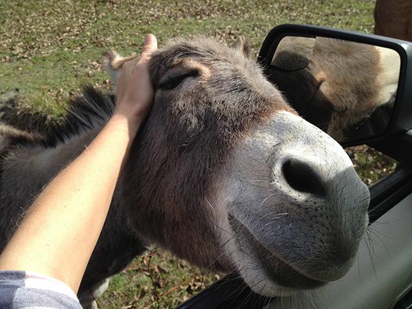 donkey pet head