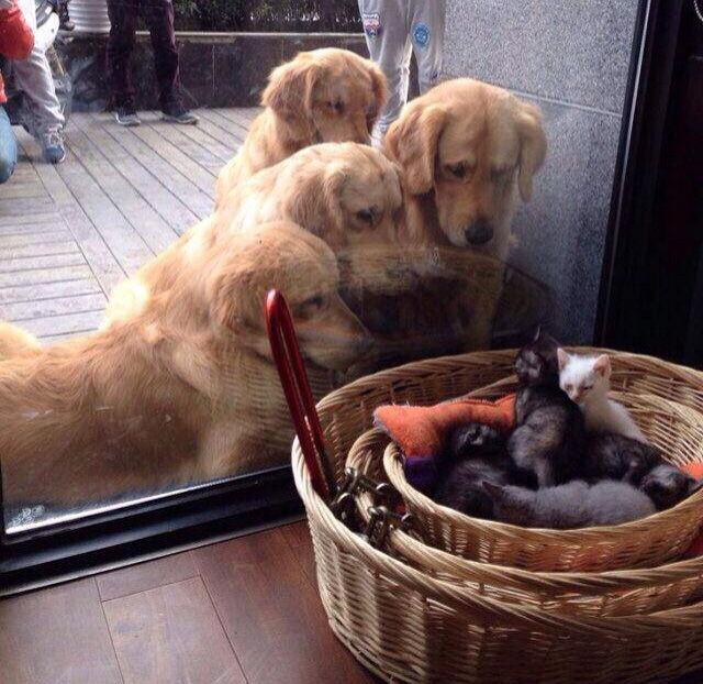 dogs staring at litter of kittens