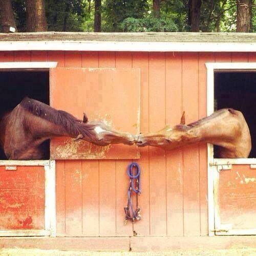 horses kiss from stalls
