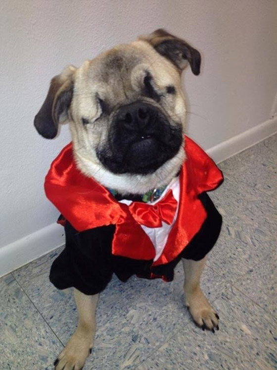 blind pug special gift