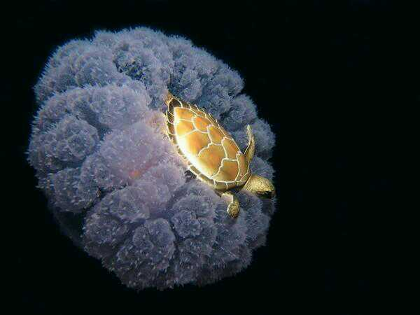 turtle riding a jelly fish