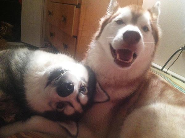 cute husky dogs