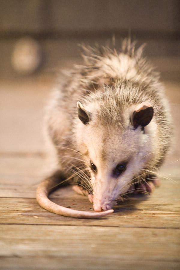 possum saved
