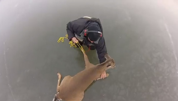 deer rescued on ice