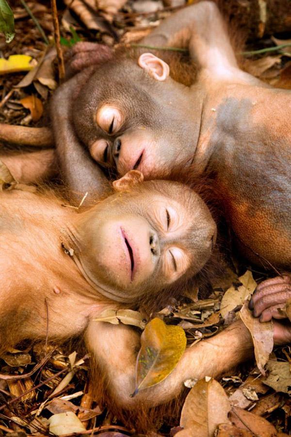 baby orangutan sleeping