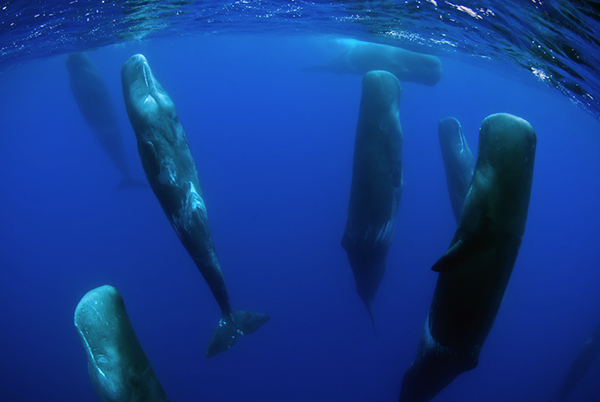 sperm whale sleeping