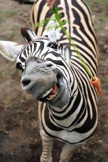 goofy zebra
