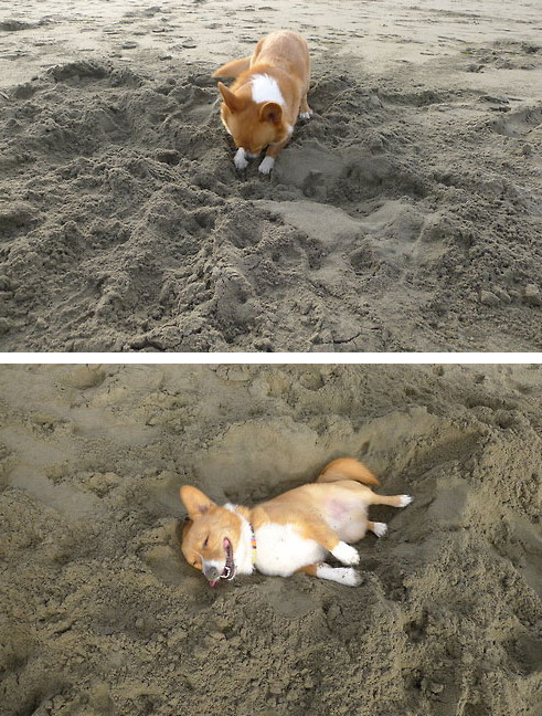 Dog Digging His Bed In The Sand That Face Is Priceless