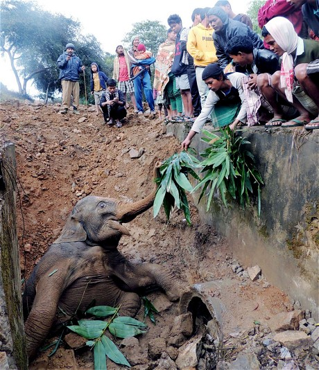 baby elephant saved in ditch