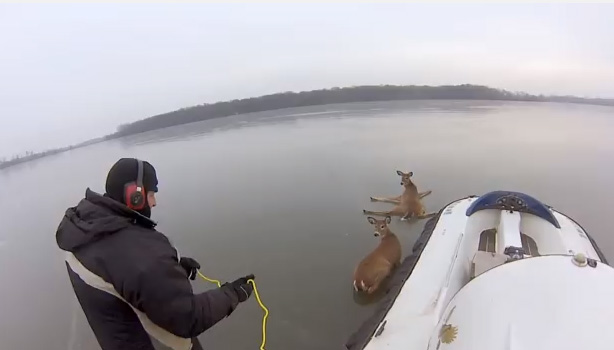 deer rescued on lake ice