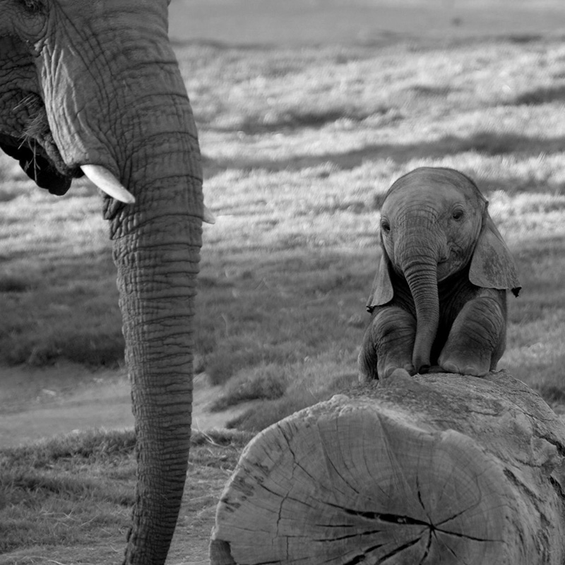 cutest baby elephant ever