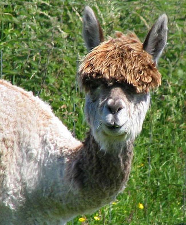 http://www.sunnyskyz.com/uploads/2014/03/1ke8s-alpaca-hair17.jpg