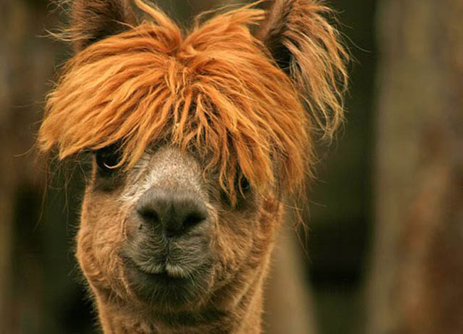 http://www.sunnyskyz.com/uploads/2014/03/2icn5-alpaca-hair9.jpg