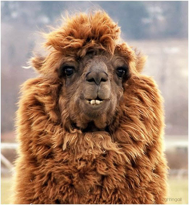 http://www.sunnyskyz.com/uploads/2014/03/2kkxq-alpaca-hair4.jpg