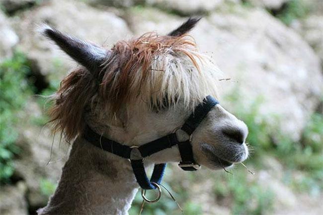 http://www.sunnyskyz.com/uploads/2014/03/3m3nj-alpaca-hair12.jpg