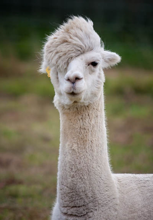How Awesome R U? - Page 2 5hm34-alpaca-hair3