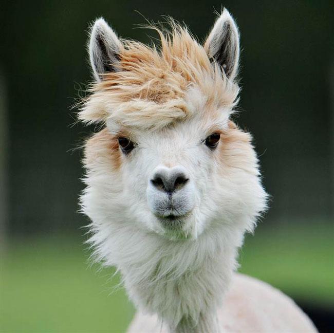 sexy alpaca hair styles