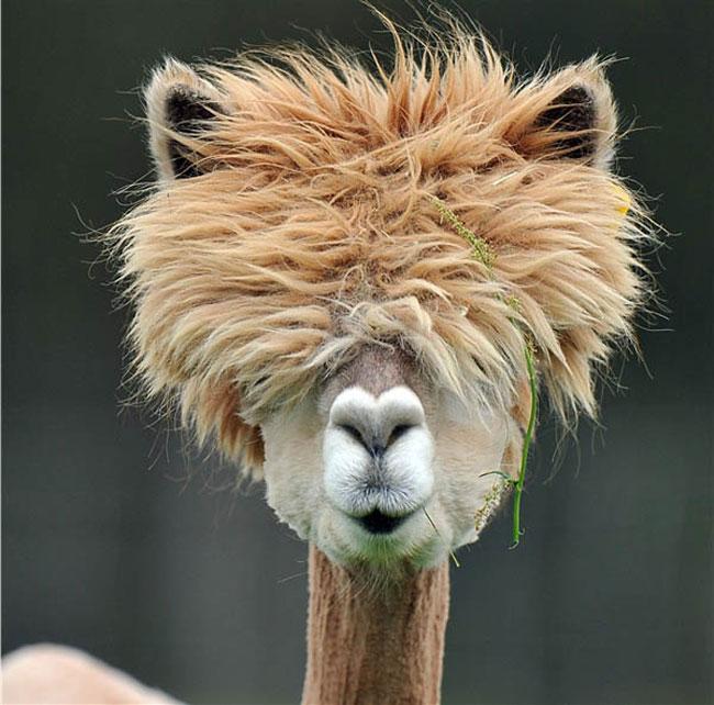 http://www.sunnyskyz.com/uploads/2014/03/6vi7d-alpaca-hair2.jpg