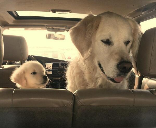 dogs look up to in car