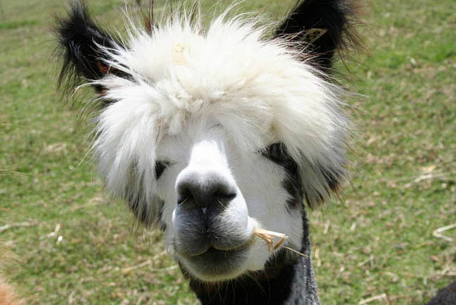 http://www.sunnyskyz.com/uploads/2014/03/7xz3d-alpaca-hair15.jpg