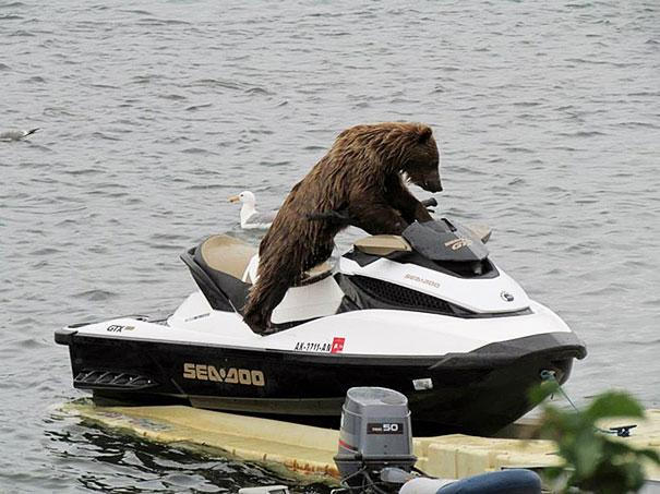 bears doing human things