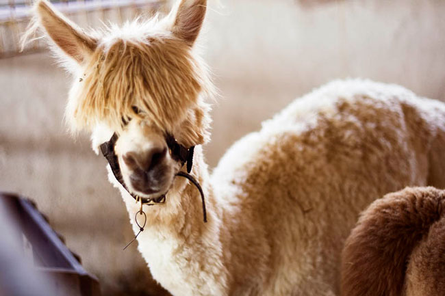 http://www.sunnyskyz.com/uploads/2014/03/anub4-alpaca-hair18.jpg