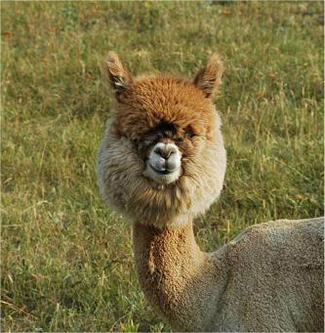 The 21 Sexiest Alpacas On The Planet. I Had No Idea They