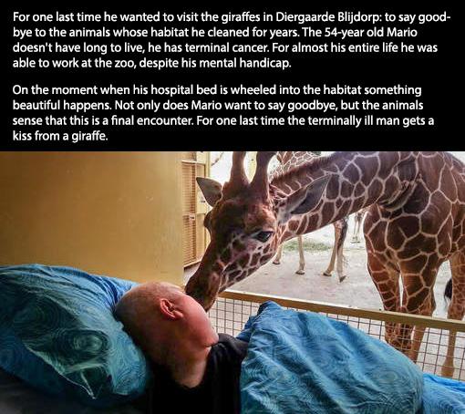 cancer giraffe kiss
