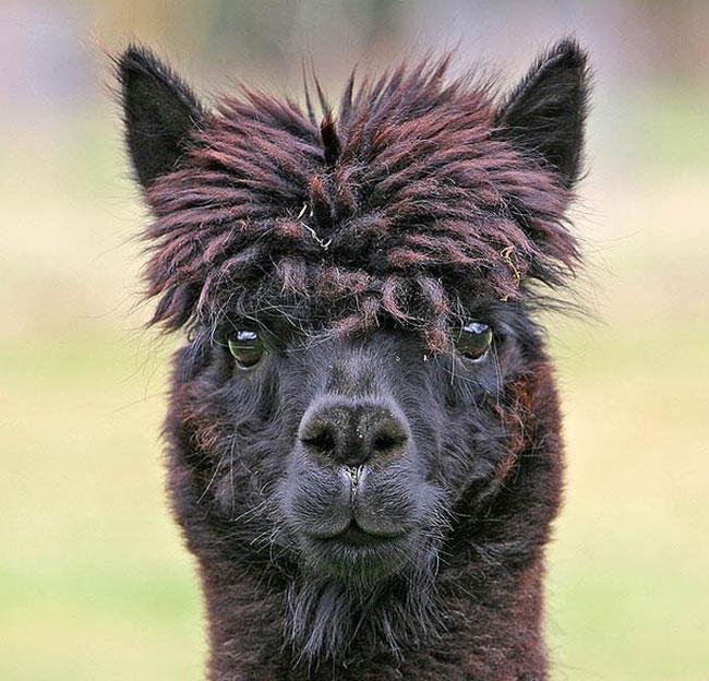http://www.sunnyskyz.com/uploads/2014/03/j3d14-alpaca-hair16.jpg
