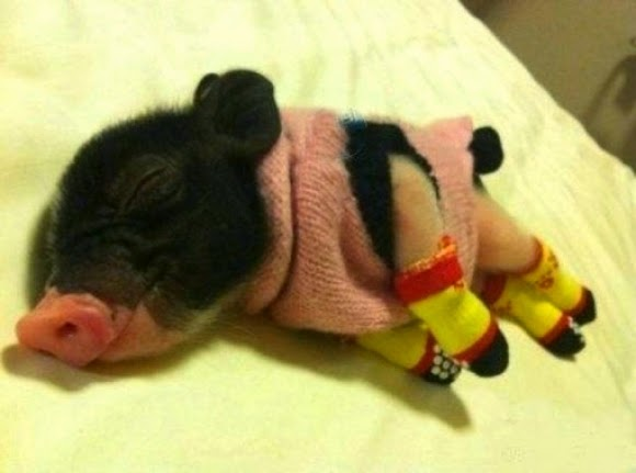 pig sleeping in clothes and socks